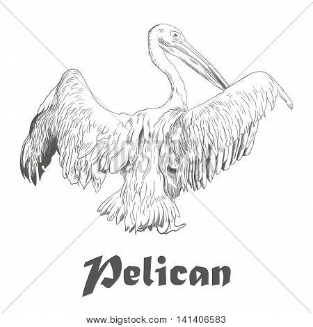 Hand drawn sketch of pelican with spread wings. Vector illustration isolated on white with text.