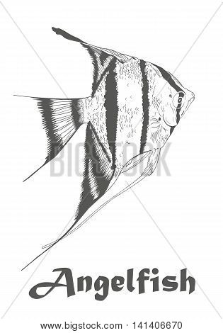 Hand drawn sketch of Angel fish, Pterophyllum species originate from the Amazon River. Colorless vector illustration isolated on white with text.