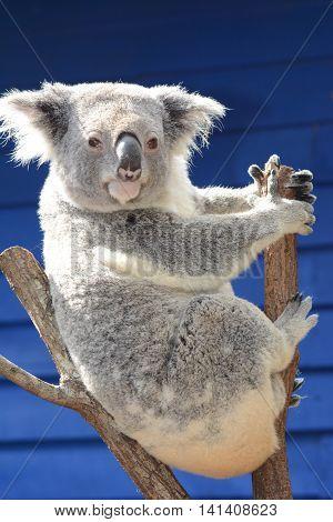 BRISBANE AUSTRALIA - AUGUST 2016: Koala Sitting in a Tree on August 1 2016 Brisbane Australia.