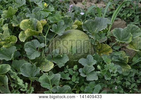 The Growing Melon In The Field
