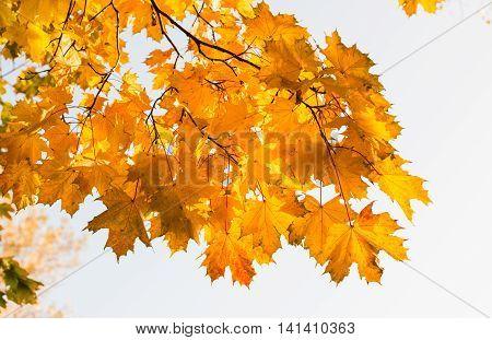 Autumn maple leaves nature, environment, botany background