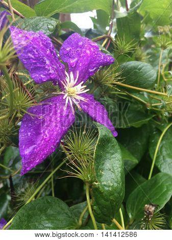 Purple clematis General Sikorski covered in morning dew