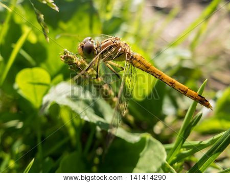 Dragonfly sitting in the grass close. Macro shot of a dragonfly on a blade of grass in the early morning. Wild insects in nature.
