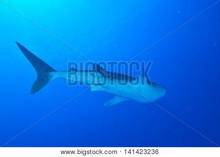 A Big Whale shark in Maldivian sea