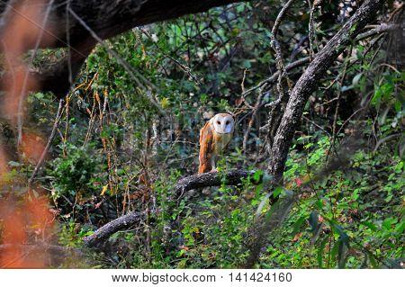 barn owl in the trees at dusk in n. ca