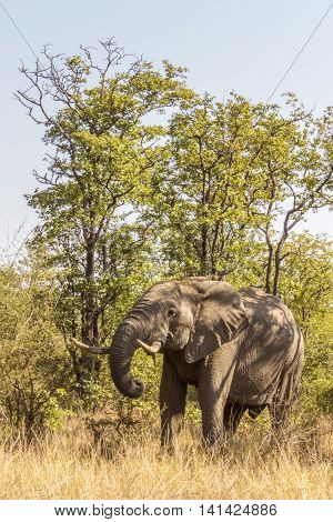 african bush elephant standing in the bush in Kruger park