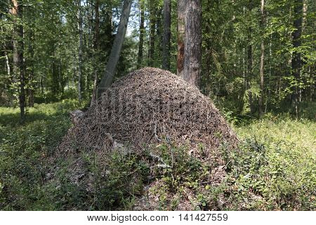 Anthill In The Forest In Summer Day