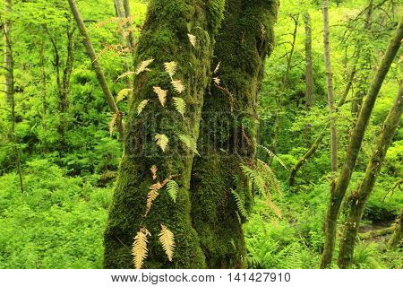 a picture of an exterior Pacific Northwest forest with old growth  Vine maple trees, ferns and moss