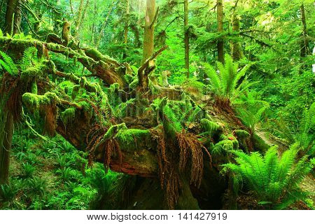a picture of an exterior Pacific Northwest rainforest tree with ferns