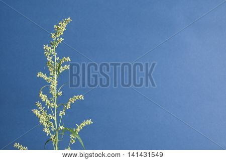Wormwood plant over blue background close up