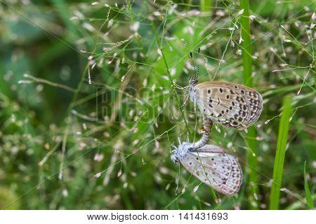 The mating little butterflies on grass flowers