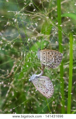 The mating butterflies on little grass flowers