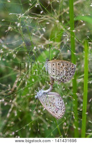 The mating butterflies on little grass flowers