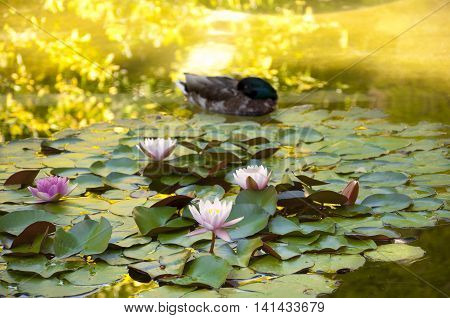 Duck and water lilies. Photo taken in Cecilio Rodriguez Gardens Retiro Park Madrid Spain.