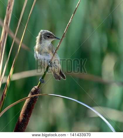 Savi's Warbler In The Reeds