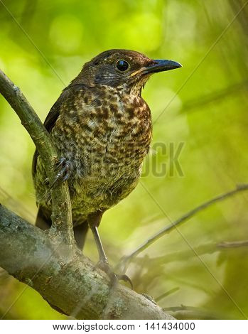 Juvenile Blackbird In The Forest