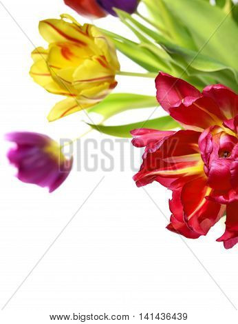 Bunch of tulips, multicolored flower boquet, isolated on white.