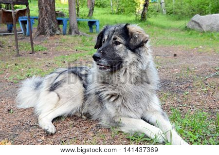 Big grey dog of shepherd lie on the ground