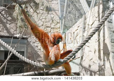 Sad ape sitting on rope in cage.