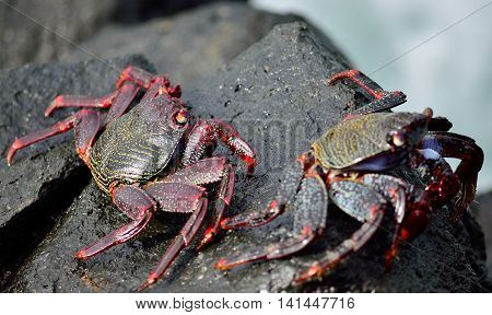 Red crab of Canary islands, Grapsus grapsus adscensionis