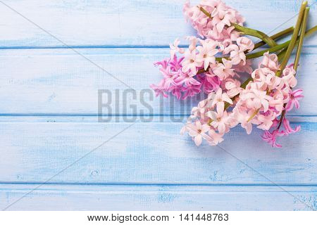 Background with fresh pink hyacinths flowers on blue painted wooden planks. Selective focus. Place for text. Flat lay.
