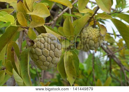 Custard Apple or Sugar Apple growing on a tree