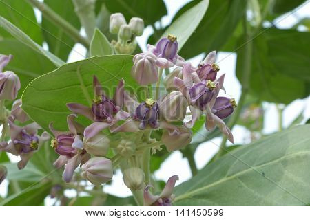 Close Up  Crown Flower, Blooming Calotropis gigantea or Crown flower with leaves
