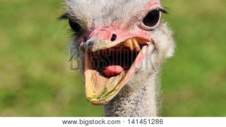 Close up of a male Ostrich with big eyes