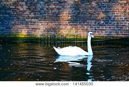 white lonely swan swimming in a river