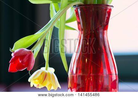 wilting tulips in a red vase lit backlit