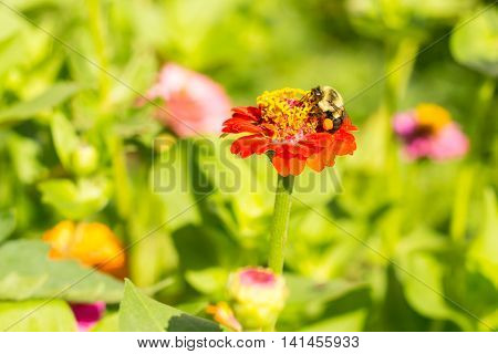 honey bee on red orange yellow flower left side dominate late summer with pollen sacs on legs