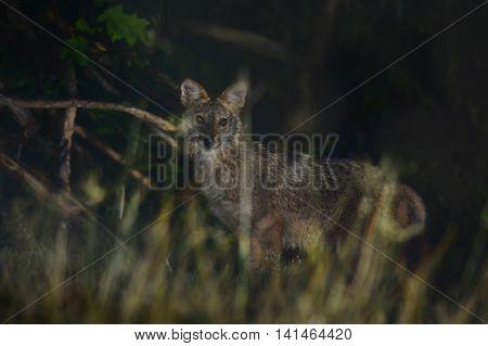 Golden jackal in beautiful habitat forest as background