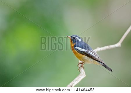 Mugimaki Flycatcher ,beautiful Bird Perching On Branch As Animal Background