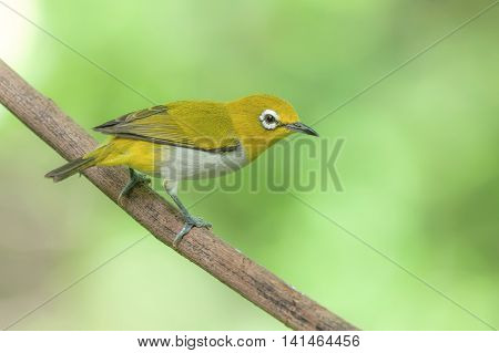 Oriental White-eye ,beautiful Bird Perching On Branch As Background