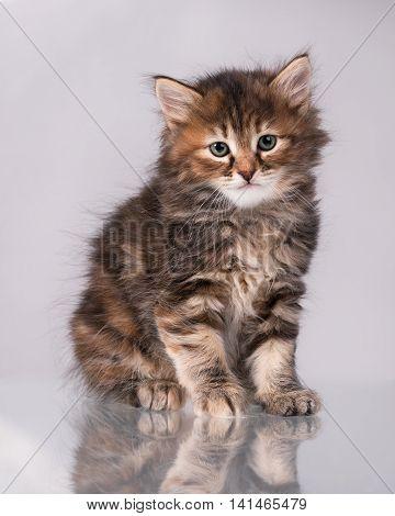 Cute fluffy little kitten over grey background