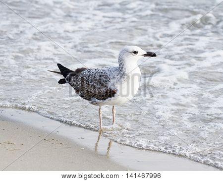 Herring gull, Larus argentatus, single bird on beach