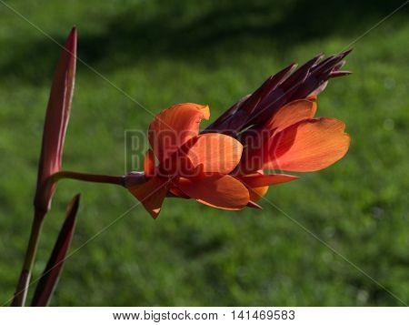 Close Up Of Red Canna Flower