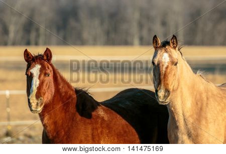 A pair of American Quarter horses looking with curiosity.