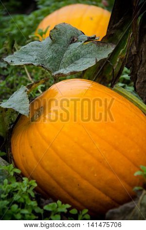 Large orange pumpkin with vine and greenery in the field.