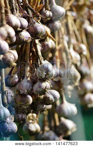 Photo closeup rope of organic natural fresh dried ripe garlic hanging. Organic dried garlic