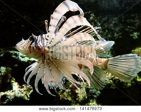 floating poisonous fish , lionfish ,  fish,