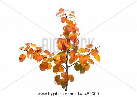 branch with autumn leaves on a white background