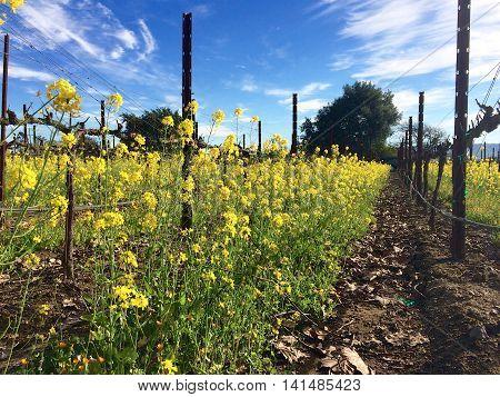 Mustard plants provide cover for grape vines