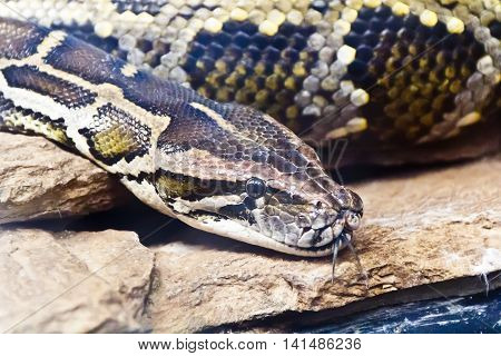 Photo of python head with put out tongue