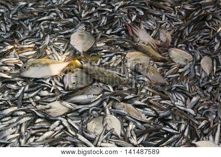 Fresh fish catch on sale at local fish market on the beach Myanmar. Fish concept