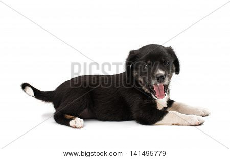 puppy looking dog isolated on white background