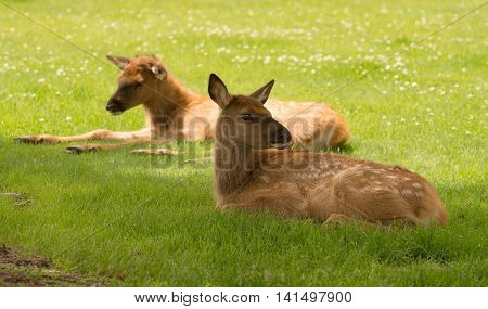 Two Elk calves lay relaxing in the grass