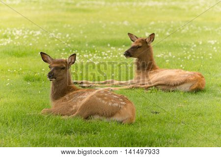 Newborn Elk Fawn Calf Yearling Wild Animal Wildlife