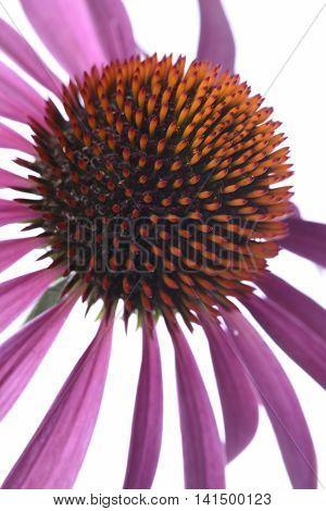 Coneflower macro isolated on white background closeup
