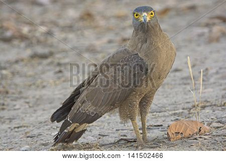 Crested Serpent Eagle on the Ground in the Forest in Bandhavgarh National park in India